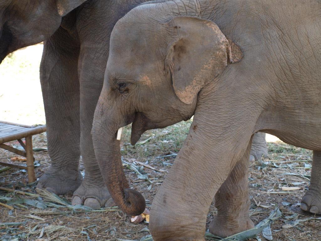 Elephant in Elephant Nature Park, Chiang Mai
