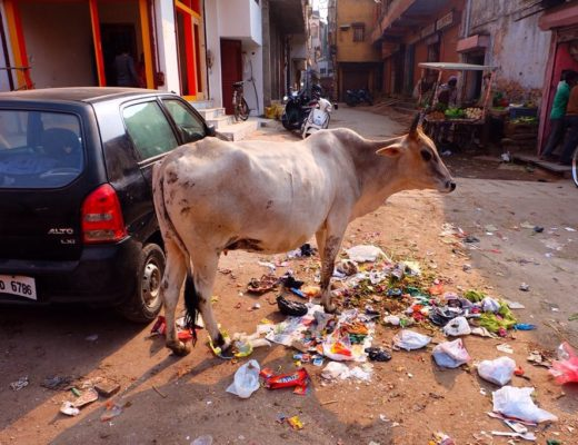 Cow standing in garbage in India