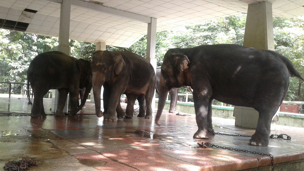 elephants-in-chains