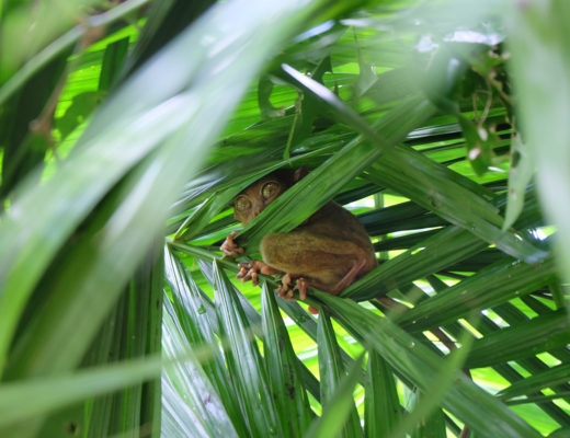 tarsier-sanctuary