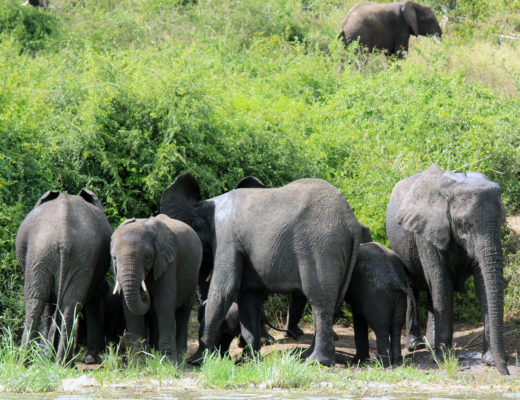 Elephants in Africa by the river