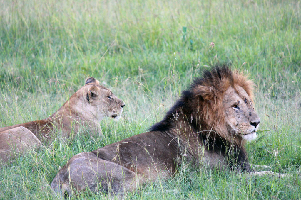 A lion and lioness in the grasses of Kenya that I saw on my East Africa travel tour.