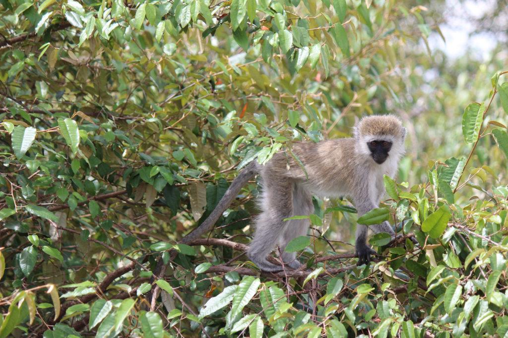 Monkey in a tree in Kenya