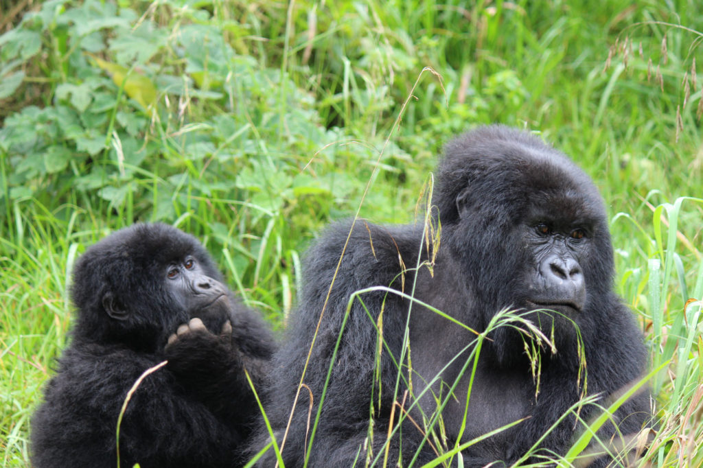 Two gorillas in the forest in Uganda that I encountered on my East Africa travel tour.