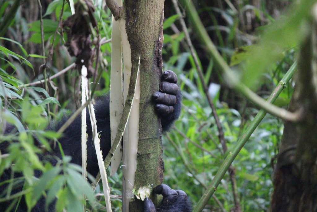 The hand of a mountain gorilla holding onto a tree
