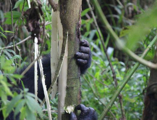 Gorilla holding onto tree branch in Bwindi National Park, Uganda.