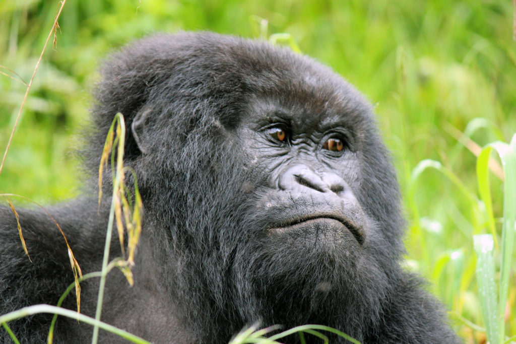 Close-up of gorilla on a mountain gorilla trek in Uganda