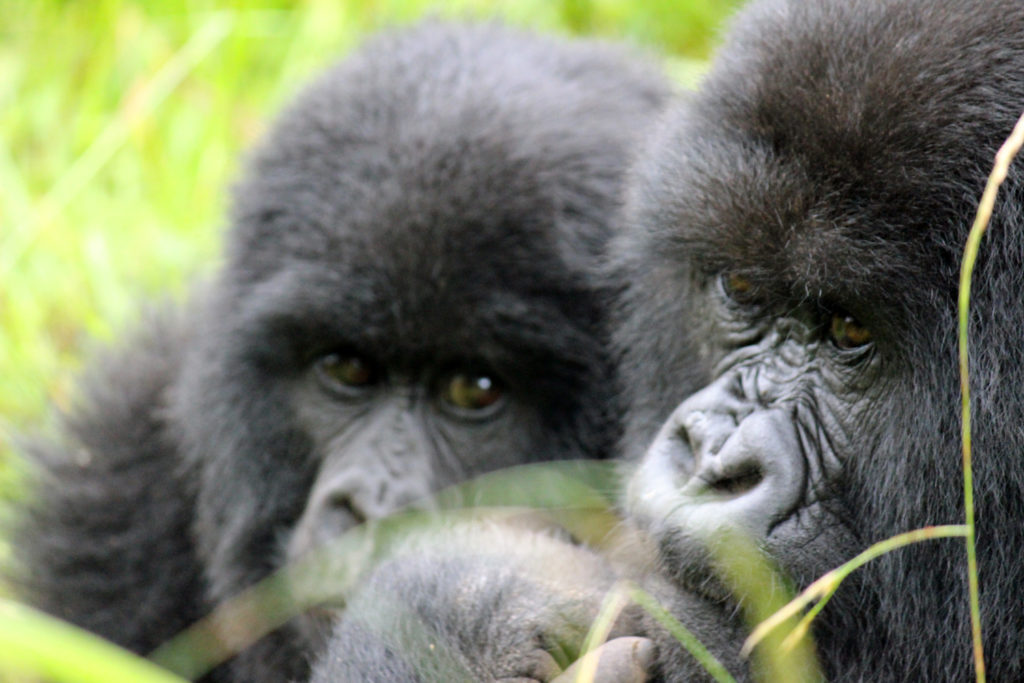Close-up of 2 gorilla faces on a mountain gorilla trek in Uganda