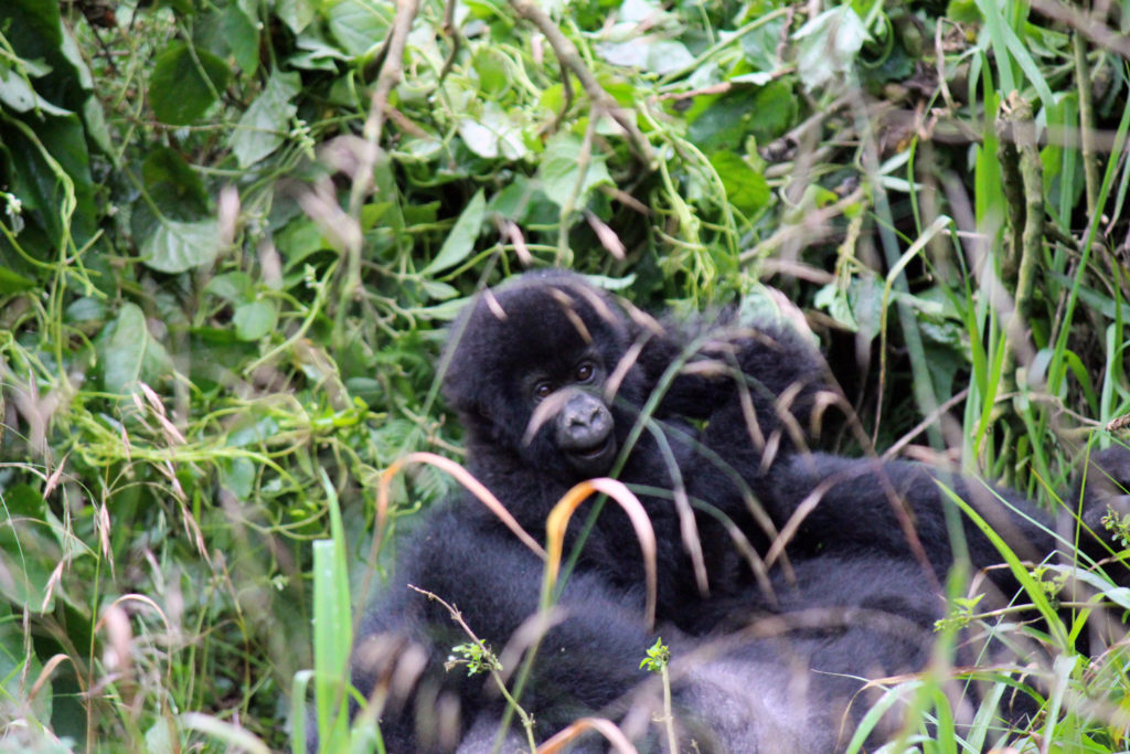 Baby mountain gorilla playing with mom in a forest in Uganda