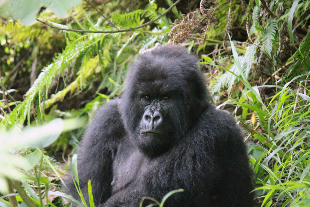 Large mountain gorilla spotted on a mountain gorilla trek in Uganda